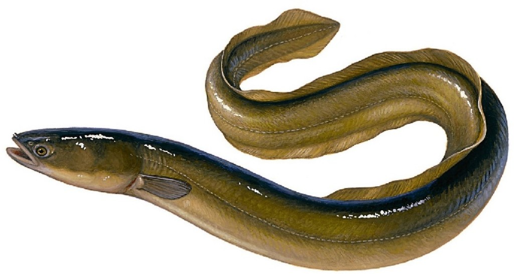 What Is the European Eel How to Catch One | BadAngling