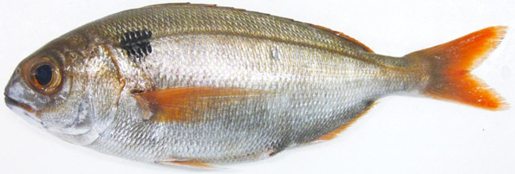 Bream Fish | Bream Fish What S Red Bream How To Catch It Badangling