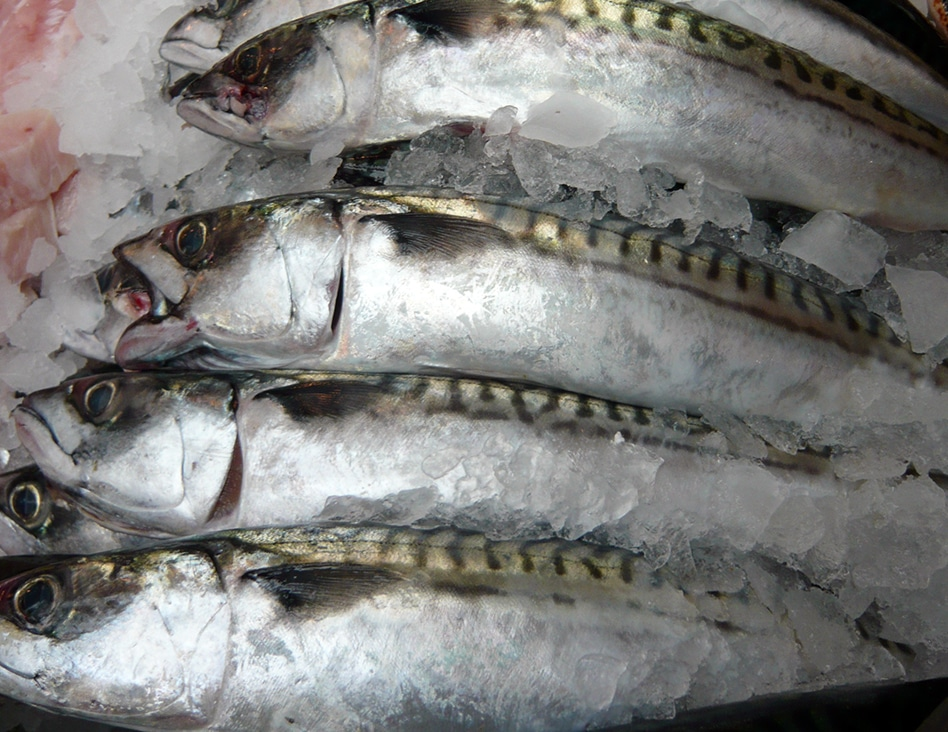Fresh Mackerel Bait