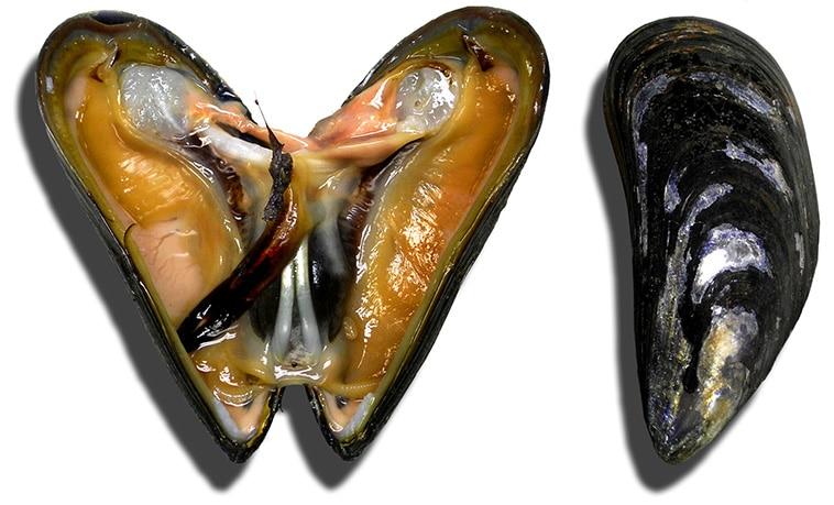 Mussel Bait