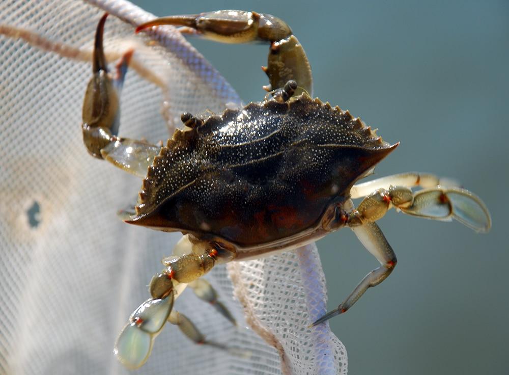 Peeler Crab Bait