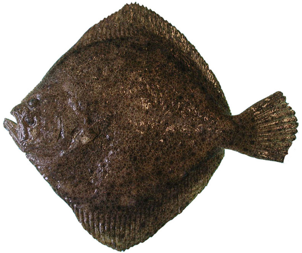What Is Turbot Fish and How to Catch One