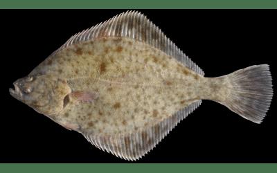 Flounder
