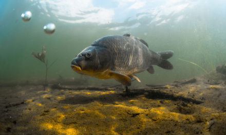 A Brief History of Carp Fishing – Why Is It So Popular?
