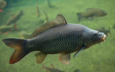 Carp Characteristics – Habitats, Diets & More