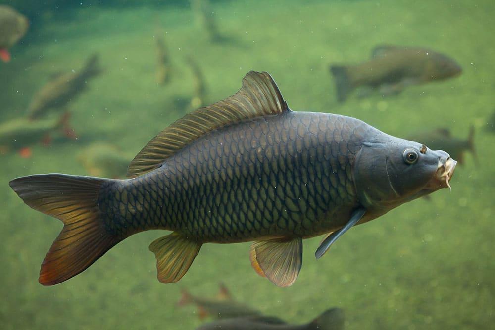 Common-Carp-Underwater.jpg