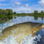 Playing, Cleaning, or Feeding: What Does a Crashing Carp Mean?