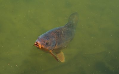 Surface Fishing for Carp: The Basics You Need to Know